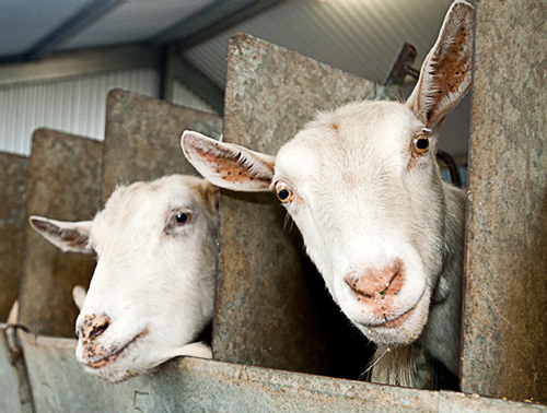 billy goat nederland